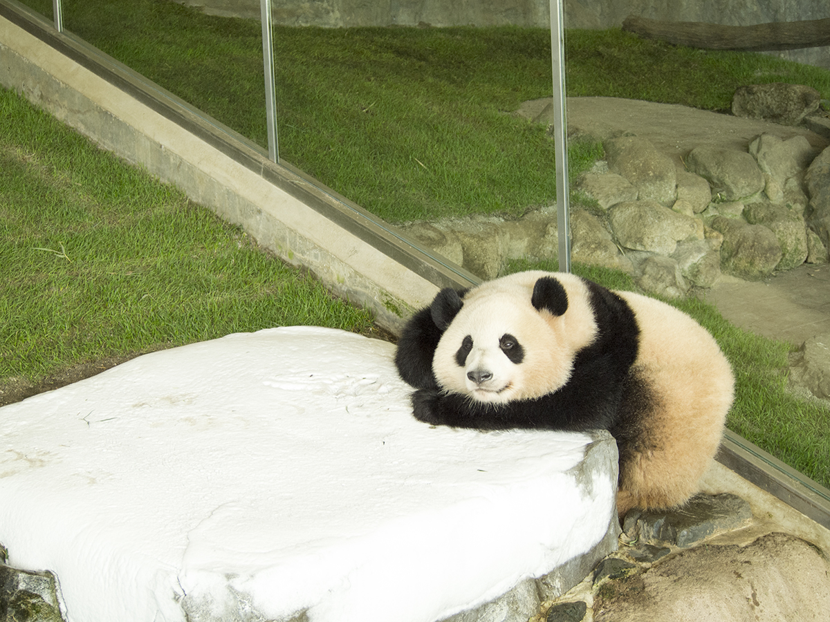 かと思えば、石に頭を載せてゆるい姿勢で寝ているパンダも。