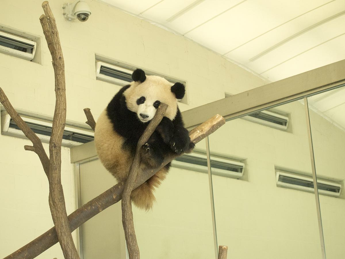 みんなの人気者パンダが気に泊まっています。子どもパンダは実を守るために木の上で寝る修正があるそうです。