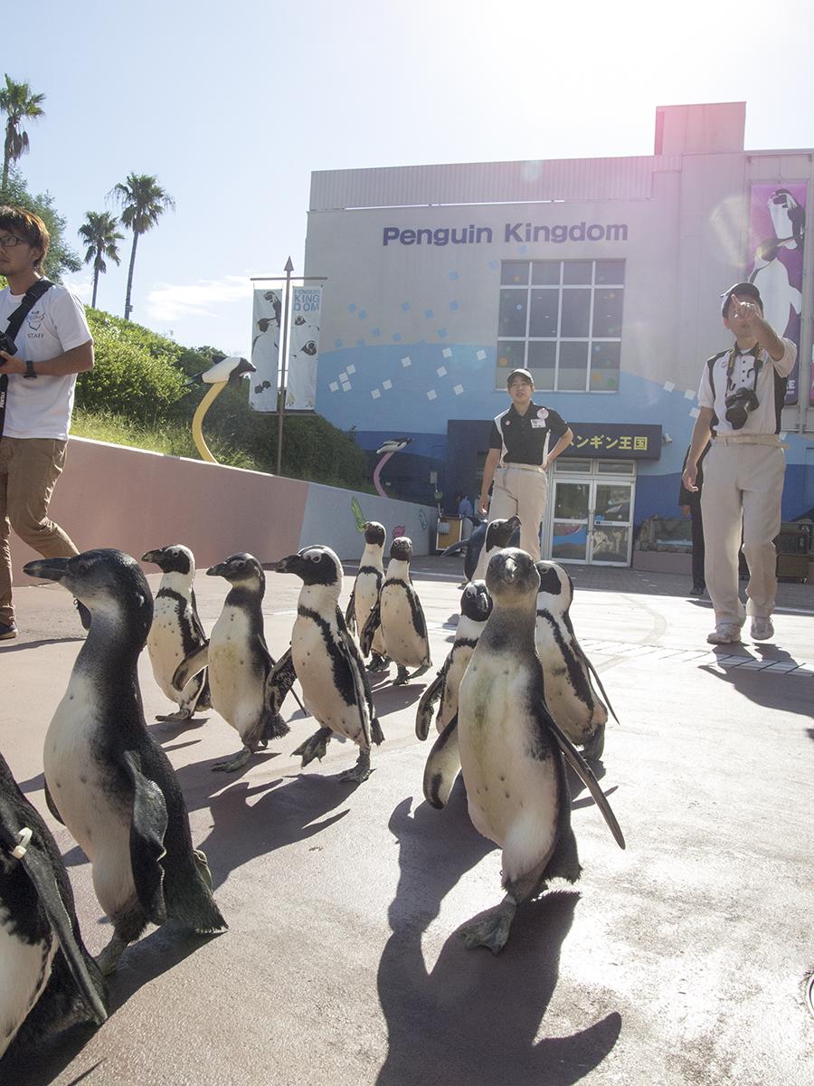 ペンギンたちの行列も。